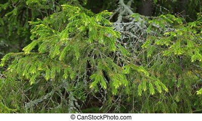 Old fir tree branch in closeup