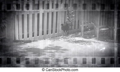 Old Footage Rooster Walk Black and White Key West Florida