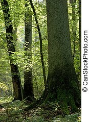 Old forest full of light, end of summer, boreal forest,...