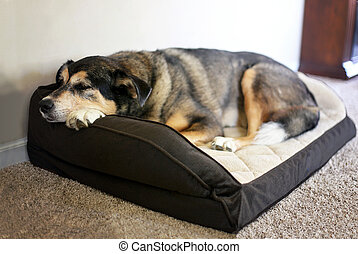 Old German Shepherd Mix Breed Pet Sleeping in a Soft Dog Bed...