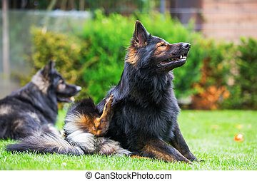 old German shepherd sits on the lawn