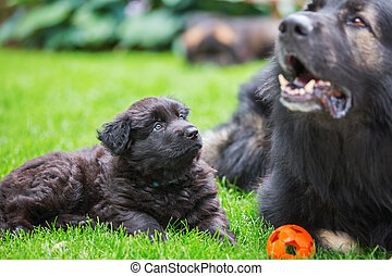 old German shepherd with a puppy on the lawn