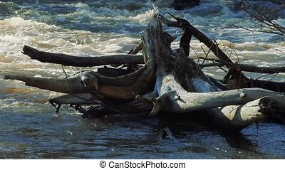 old gnarled dry stump in the river.