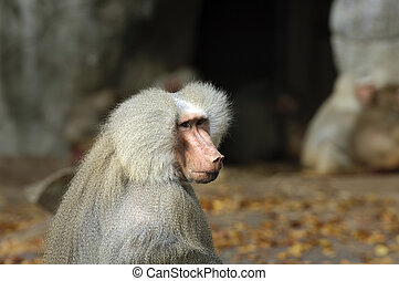 Old gray haired Monkey