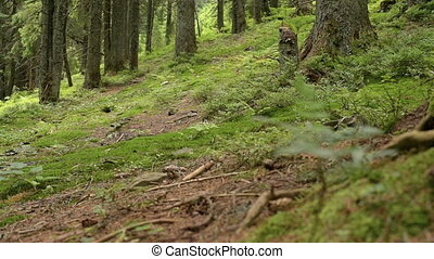 Old green forest summer - A beautiful old green forest