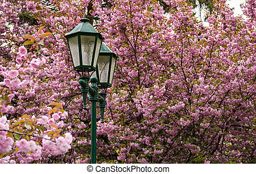 old green lantern among cherry blossom. beautiful spring...