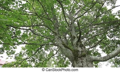 Old green maple tree in the garden - Old green maple season,...