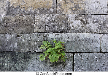 Old grey stone wall background with green leaves