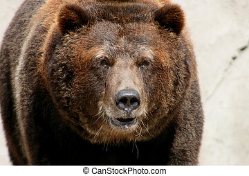 grizzly bear - old grizzly bear close up