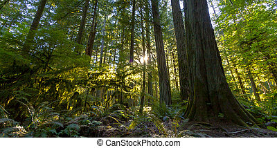 Old Growth Rainforest, Cathedral Grove, Vancouver Island
