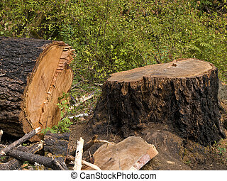 Old Growth Tree Cut Down - Another old growth tree has been...