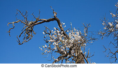 old half-dead almond tree with one flowering branch,...