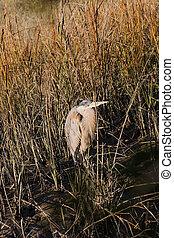 Old Heron in Wetland Marsh