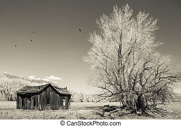 Remains of an old western house with a cottonwood tree and circling birds on the eastern side of the Sierra mountains in monochrome for a vintage look.