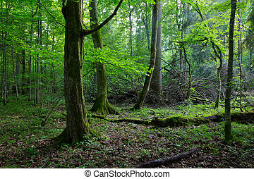 Old hornbeam moss wrapped in spring forest
