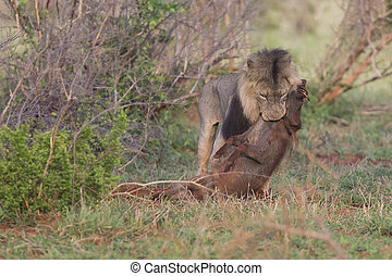 Old hungry male lion rests after killing warthog to eat