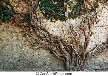 Old ivy tree - Very old ivy tree on the stone wall