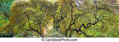 Old Japanese Laceleaf Maple Tree