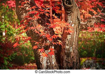Old Japanese maple Tree in Autumn.