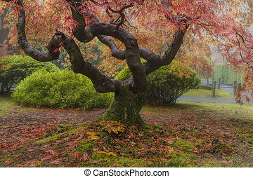 Old Japanese Maple Tree in Autumn - Old Japanese Maple Tree...