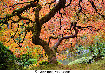 Old Japanese Maple Tree at Japanese Garden in Autumn