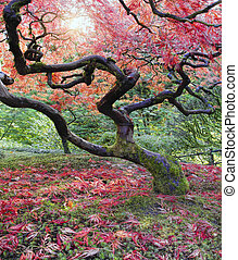Old Japanese Red Maple Tree in Fall Season with Sunlight