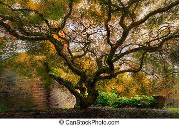Old Japanese Maple Tree
