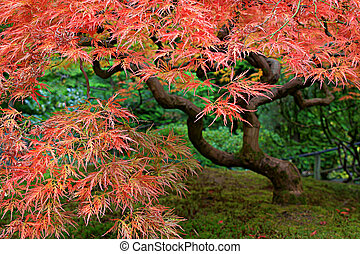 Old Japanese Red Lace Leaf Maple Tree 2