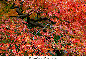 Old Japanese Red Lace Leaf Maple Tree 3