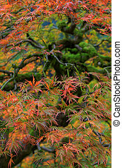 Old Japanese Red Lace Leaf Maple Tree