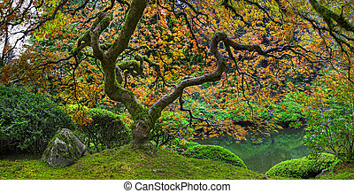 Old Japanese Red Lace Leaf Maple Tree Panorama 2