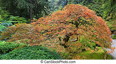 Old Japanese Red Lace Leaf Maple Tree Panorama