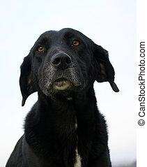 old labrador - old dog purebreed labrador retriever