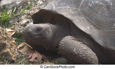 Old, land turtle living on the island 2