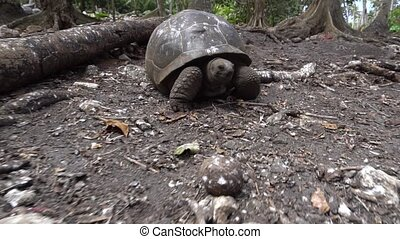 Old, land turtle living on the island 5