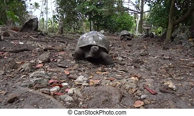 Old, land turtle living on the island 6
