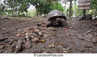 Old, land turtle living on the island 7