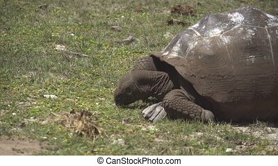 Old, land turtle living on the island