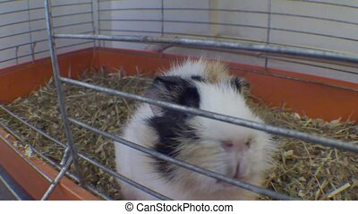 old large guinea pig in a cage close up. - old large guinea...