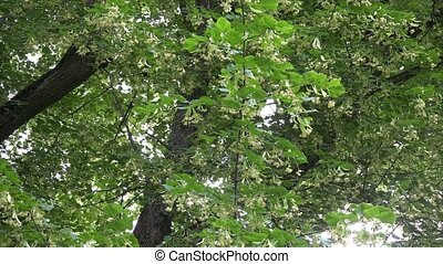 Old linden tree branches with flowers blooms move in wind tilt up.