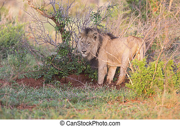 Old lion male hunting for food in nature