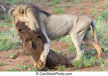 Old male lion drags warthog from its burrow to eat