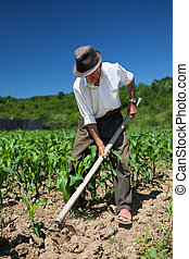 Old man weeding the corn field