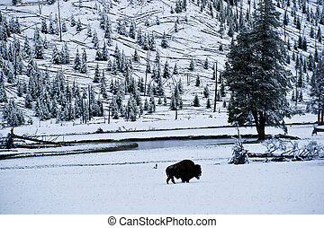 A lone bison stands in a snowy meadow beside Firehole River during Yellowstone's harsh winter