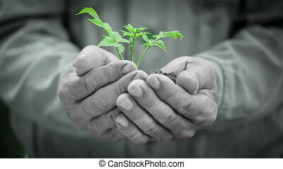 Old man`s hands holding plant
