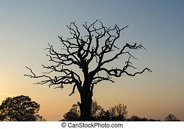 Old mighty oak tree silhouette