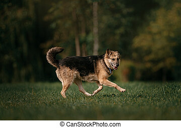 old mixed breed dog running outdoors in summer