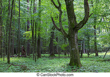 Old monumental Hornbeam Tree(Carpinus betulus) in front of ...