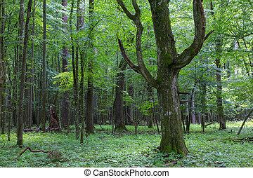 Old monumental Hornbeam Tree(Carpinus betulus) in front of...