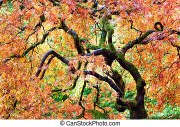 Japanese Lace Leaf Maple Tree in Fall